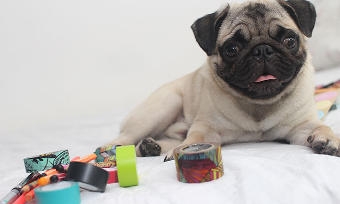 What are the Best Toys for Pugs