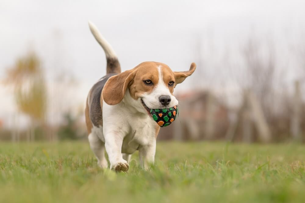 A cute beagle dog running in the park with a ball in his mouth