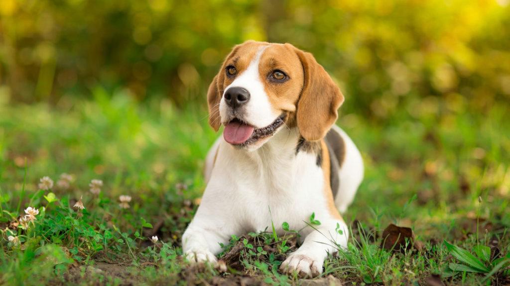 Beagles Dog Toys