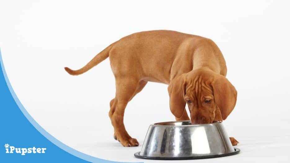 vizsla puppy eating from dog bowl