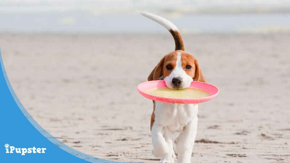 beagle puppy playing with frisbee dog toy on the beach