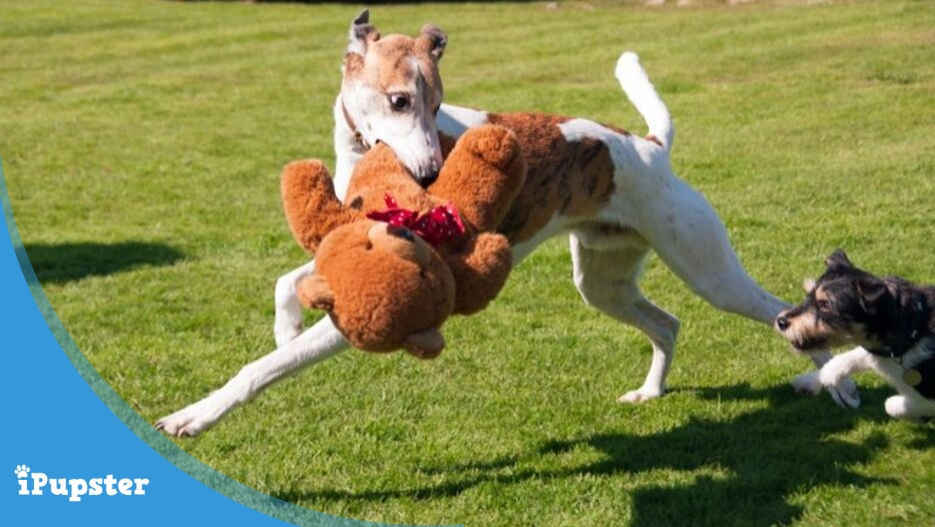 greyhound running in park with a teddy bear chased by a smaller dog