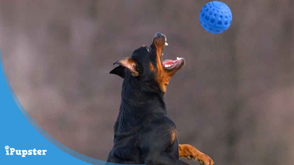 Rottweiler playing with the best rottie dog toys durable ball