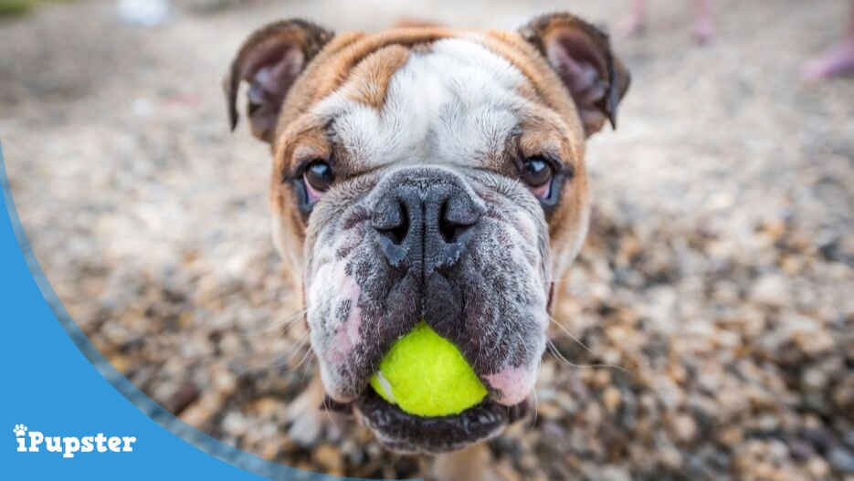 Cute bulldog playing with tennis ball outside in park