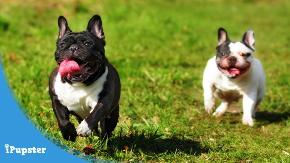 Two Frenchies playing running in the park