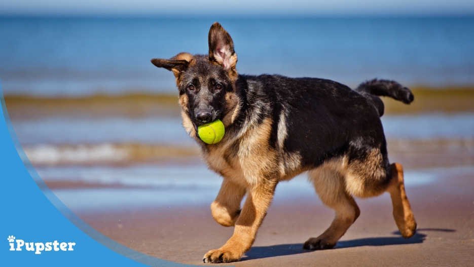 German Shepherd dog playing with a tennis ball on the beach