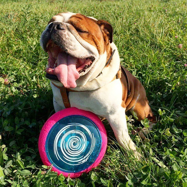 Cute bulldog puppy playing with a teething dog toy