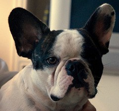 A cute french bulldog portrait
