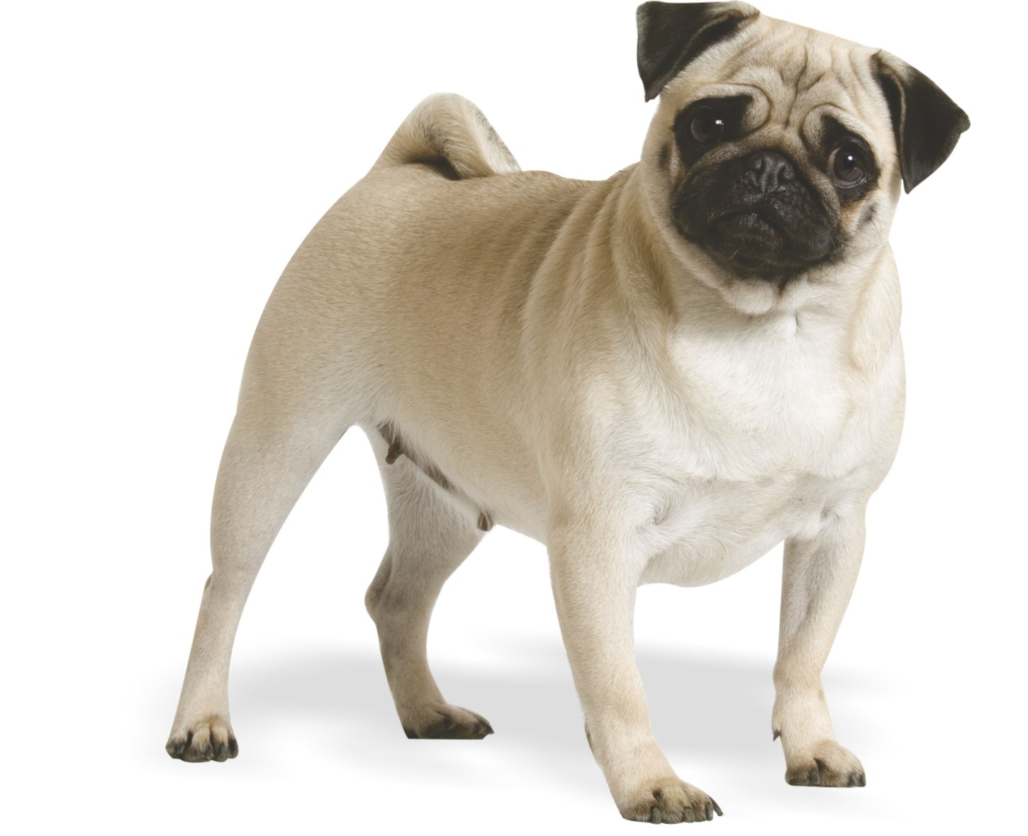 A small breed dog - the pug