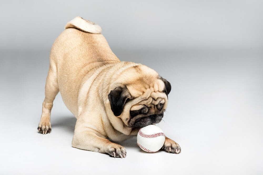 A cute pug playing with a dog ball