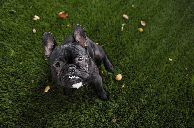 French Bulldogs Best Toys