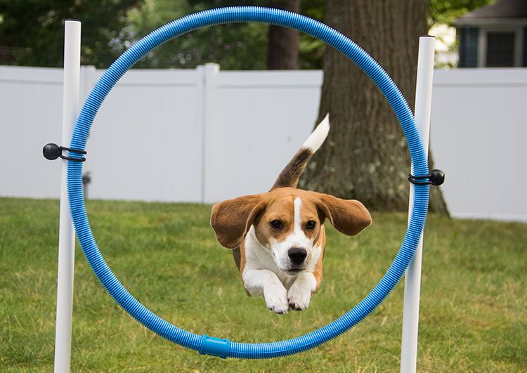 A Dog Running Through an DIY Agility Course