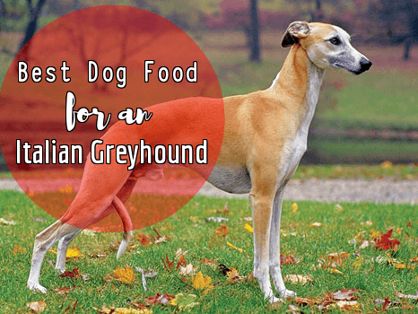 Italian Greyhound Best Dog Foods