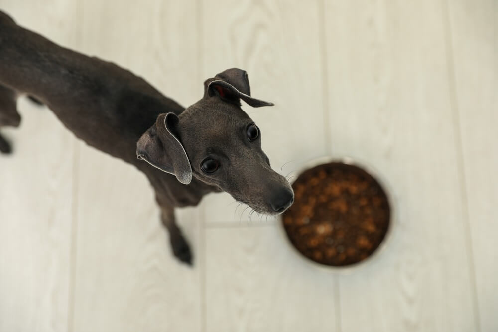 Learn about Italian Greyhounds Diet, Breed and Health