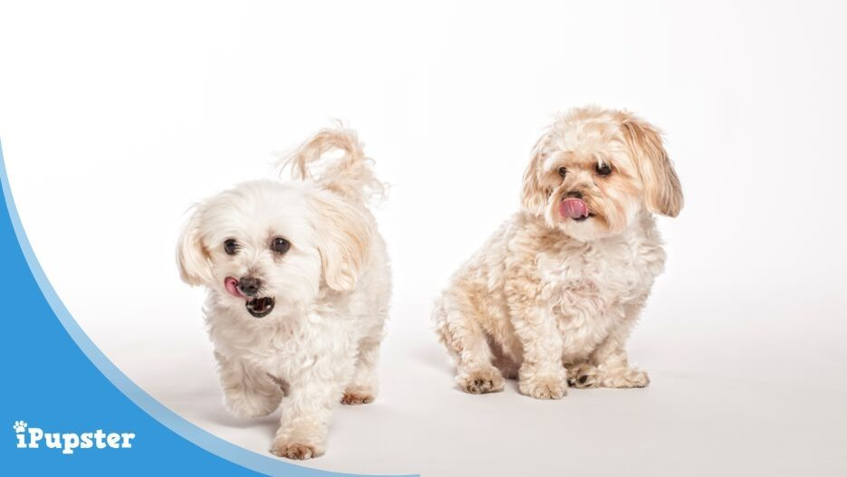 two maltipoo dogs licking their lips