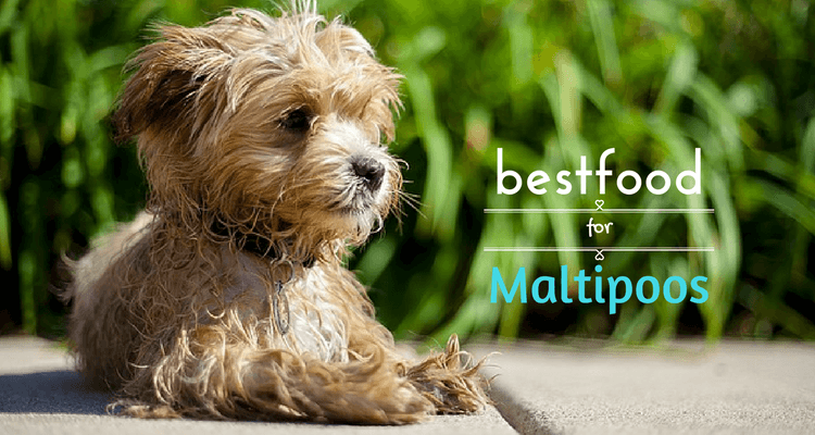 Best Dry Dog Food for Maltipoos