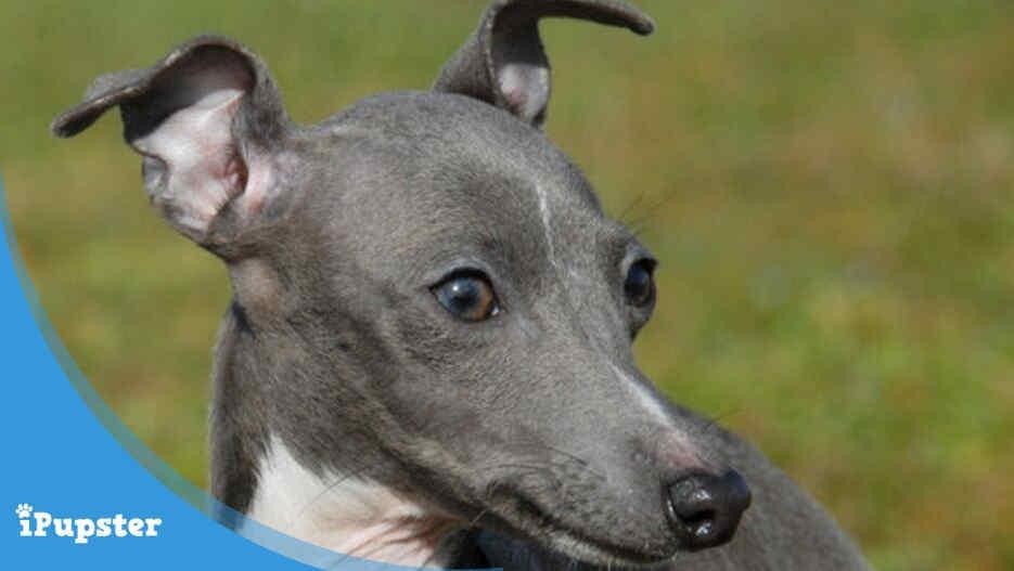 cute Italian greyhound dog in the park