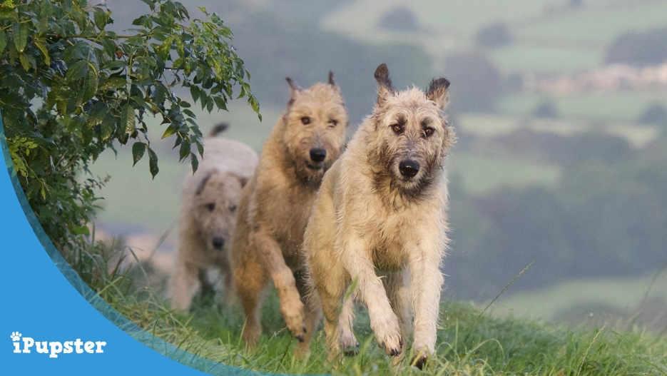 Irish Wolfhound Diet and Nutrition