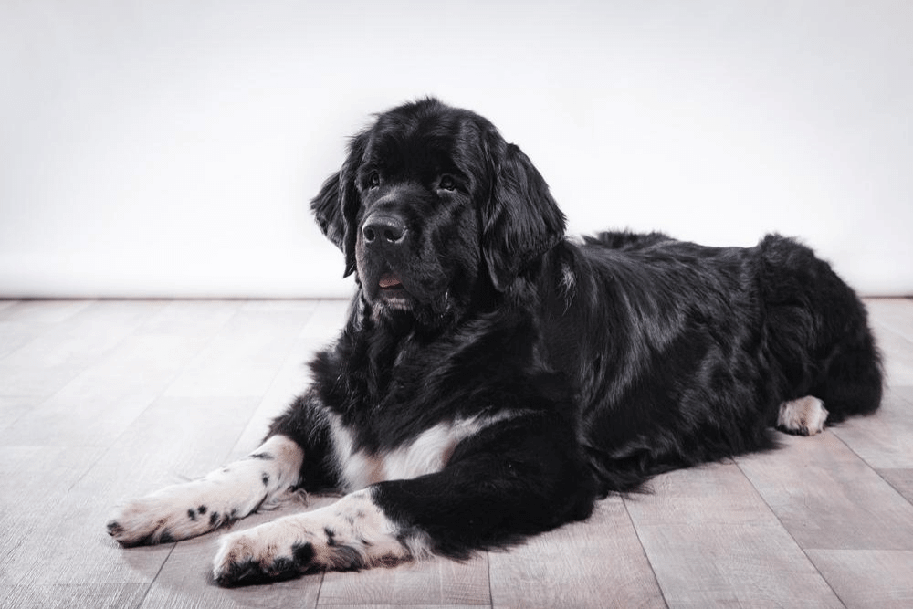 Newfoundland Dog Nutrition