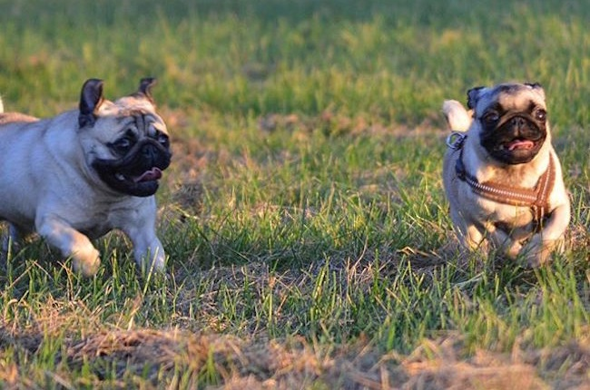 two healthy pugs running