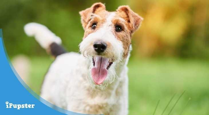 Fox Terrier Dog Food