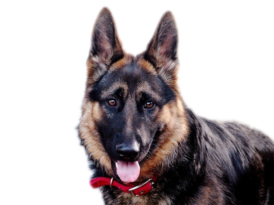 German Shepherd Food- Daily Food requirements and diet