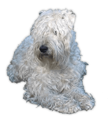Wheaten Terrier Breed