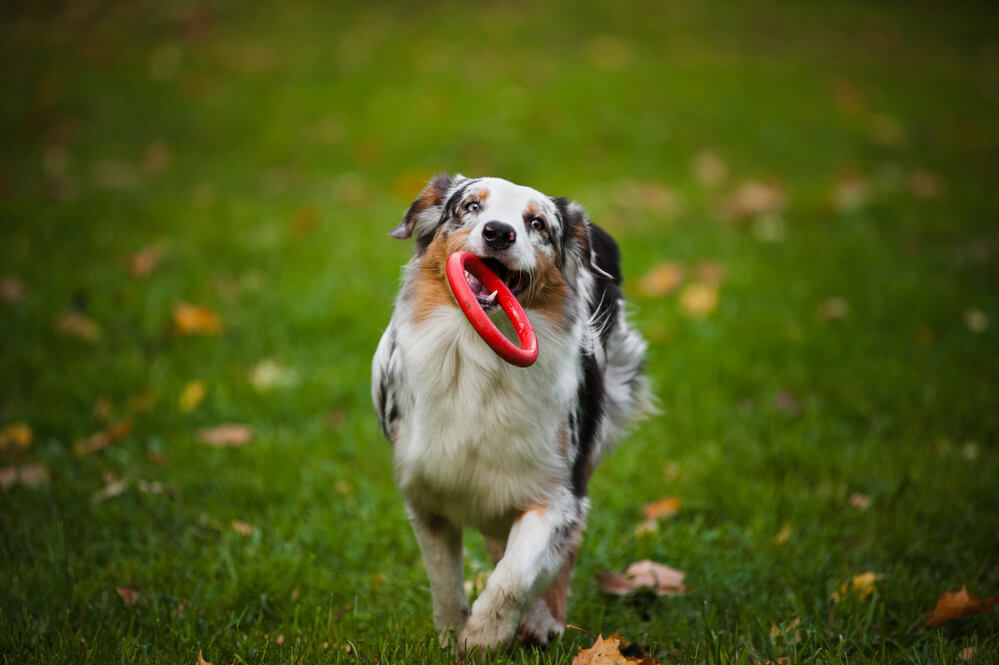 A blue merle Australian shepherd dog playing frisbee with a tug toy in the park