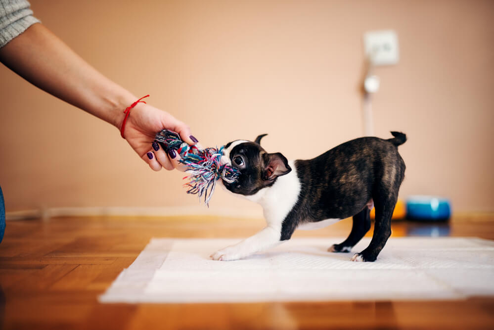 A cute Boston Terrier puppy playing with a tug toy