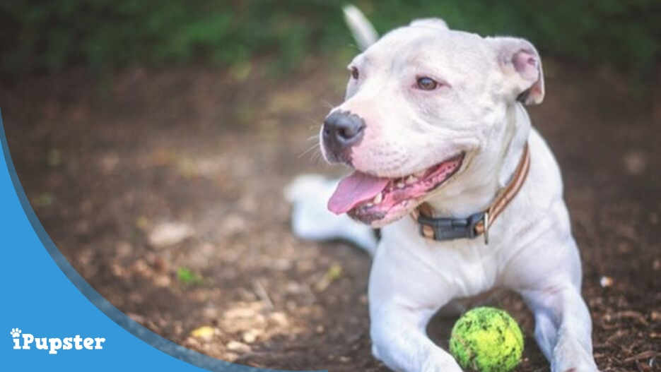 Best Durable Pet Toys for Pit Bulls