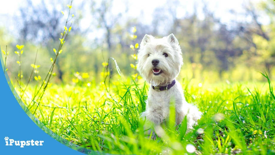 West Highland Terrier Diet and Nutrition
