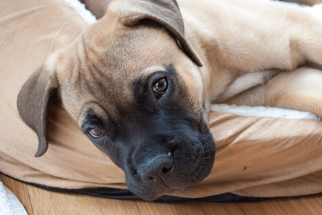 Best Grain Free Dog Food for Overweight Bullmastiff