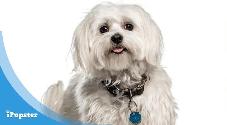 Dog Food For Canine Microvascular Dysplasia