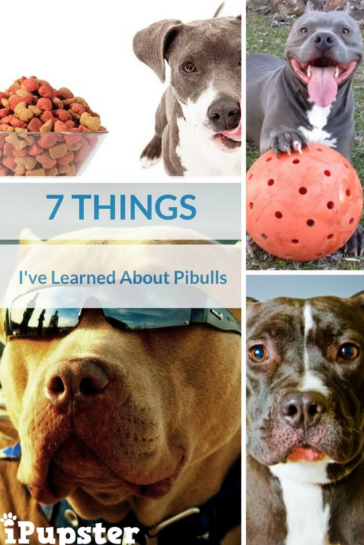 Pitbull Breed Traits and Characteristics