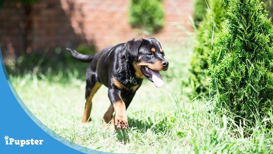 Rottweiler Puppy Receiving Training Playing in Garden