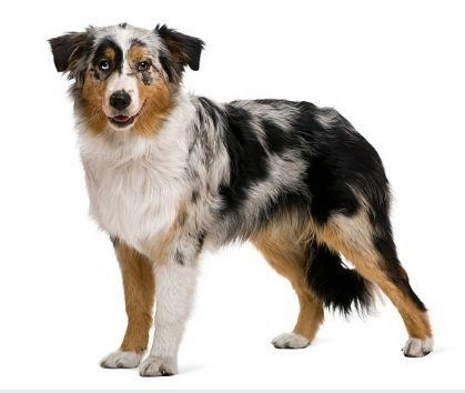 A beautifully marked Australian Shepherd adult dog