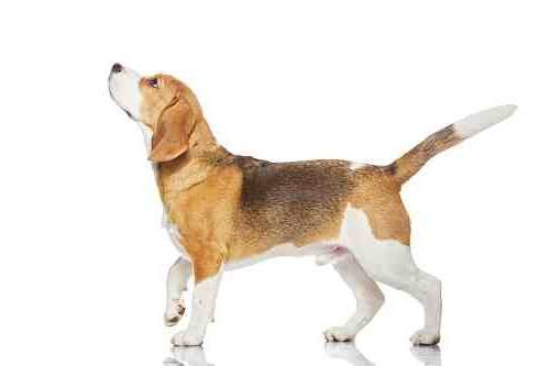 Cute beagle dog pet.