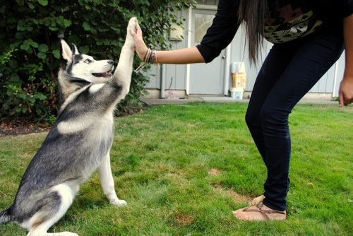 A Siberian Husky Doing a Hi Five with Owner