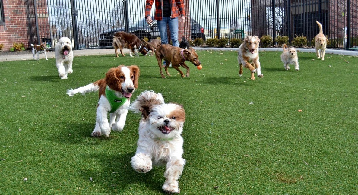 Dogs running and playing in a doggy day care