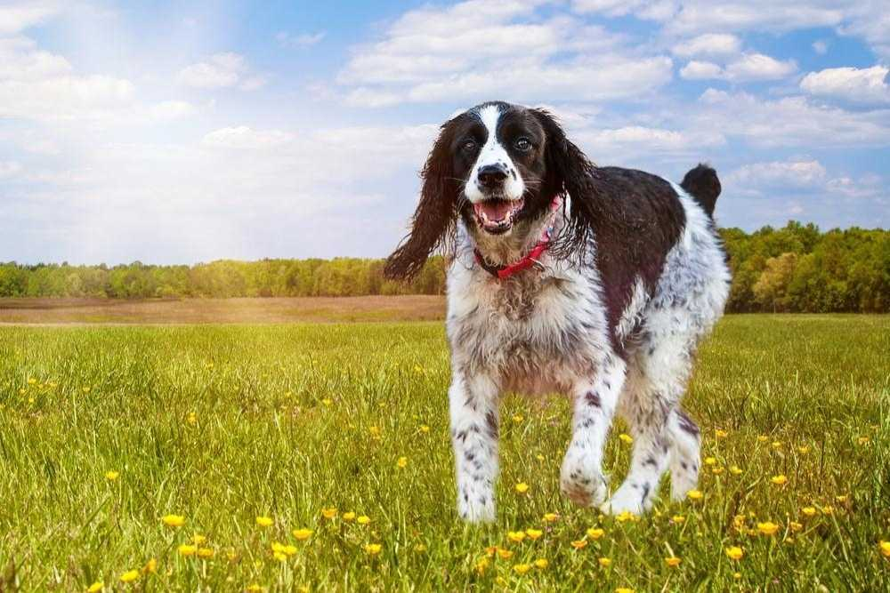 A pensive and cute looking adult English Springer Spaniel