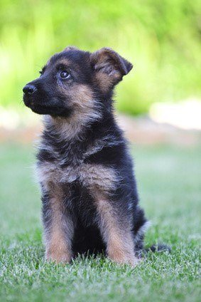 A passive German Shepherd Puppy Sitting in the Grass