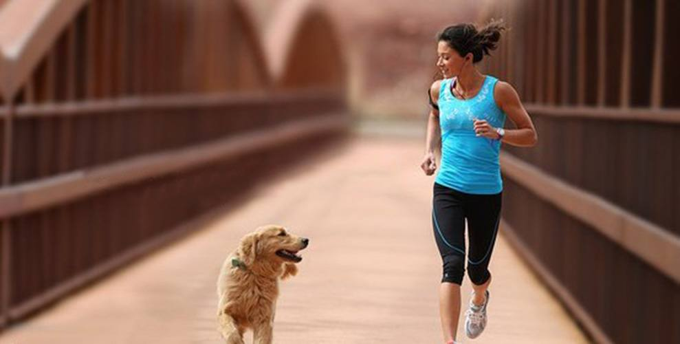 A retriever jogging with female owner in the city