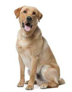 A goofy and cute Labrador Retriever Dog