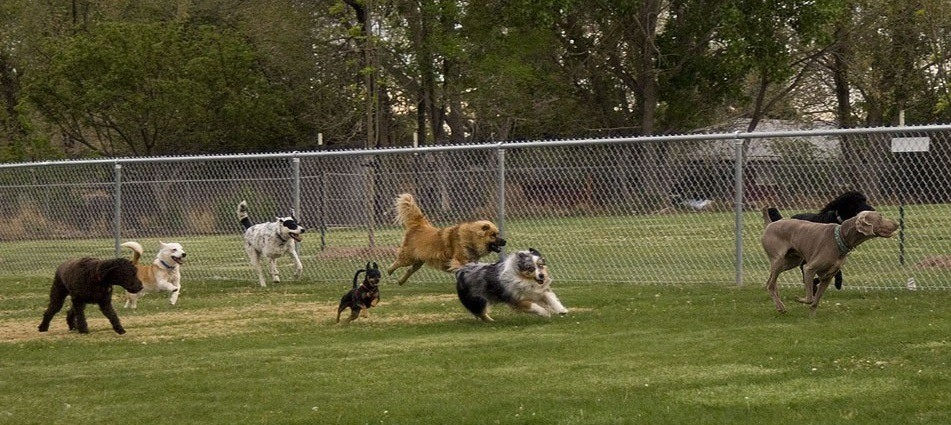 Dogs Running in Leash Free Dog Park