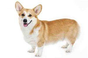 An adult corgi dog