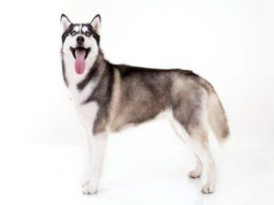 Beautiful working dog breed Siberian Husky