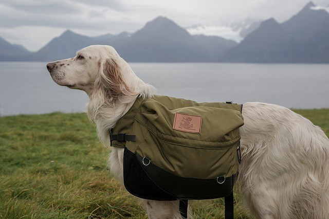 Labrador Carrying Backpack