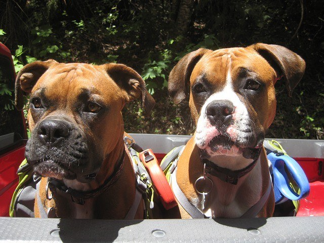 Boxers Carrying Dog Packs Obedient