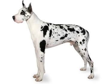 Giant Dog Breed Spotted Great Dane