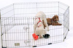 Have lots of toys around for your puppies during teething